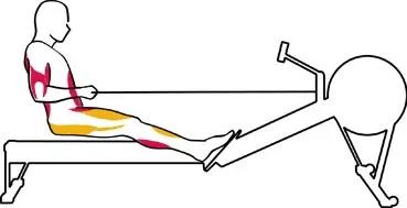Muscles avec le rameur